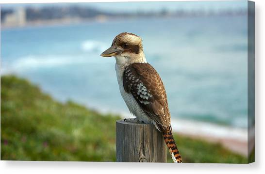 Wrens Canvas Print - Kookaburra by Mariel Mcmeeking