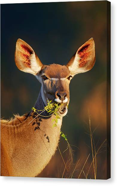 Shoulders Canvas Print - Kudu Portrait Eating Green Leaves by Johan Swanepoel