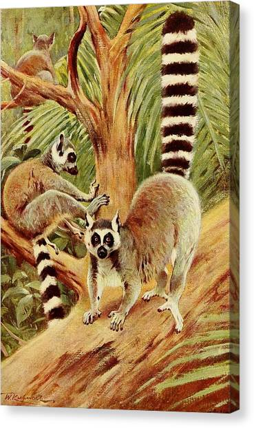 Ring-tailed Lemur Canvas Print - Kuhnert, Friedrich Wilhelm 1865-1926 - Wild Life Of The World 1916 V.3 Ring-tailed Lemur by Wilhelm Friedrich Kuhnert
