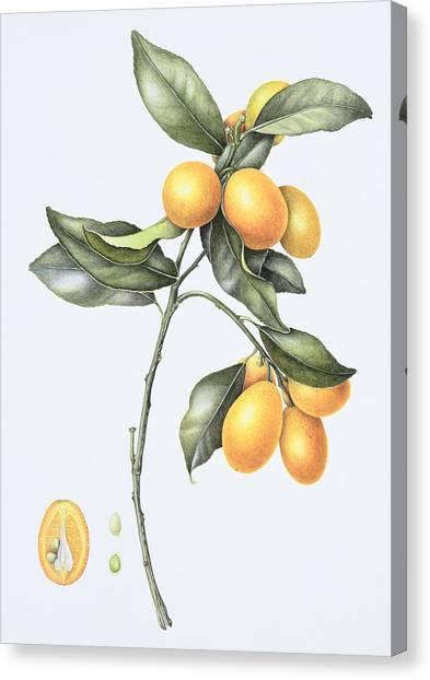 Half Life Canvas Print - Kumquat by Margaret Ann Eden