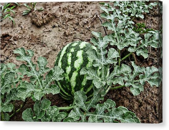 Ky Watermelon Canvas Print