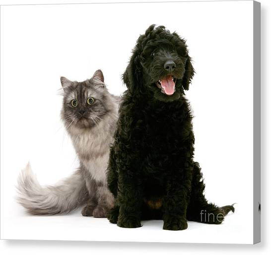 Birmans Canvas Print - Labradoodle And Persian Cat by Mark Taylor