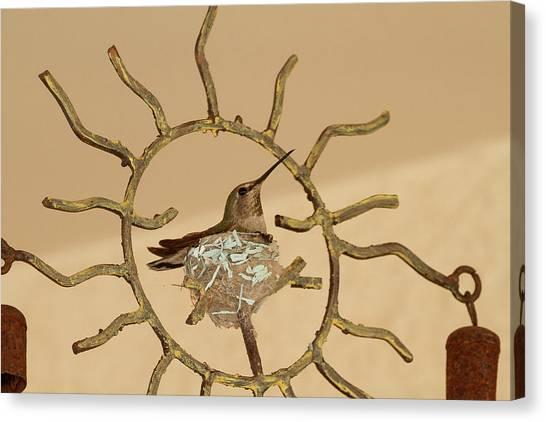 Lady Hummingbird On Her Nest Canvas Print