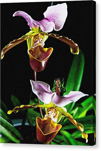 Lady Slipper Orchid Canvas Print