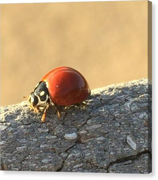 Insects Canvas Print - Ladybug Dance #maui #mauihawaii #ladybug by Darice Machel McGuire