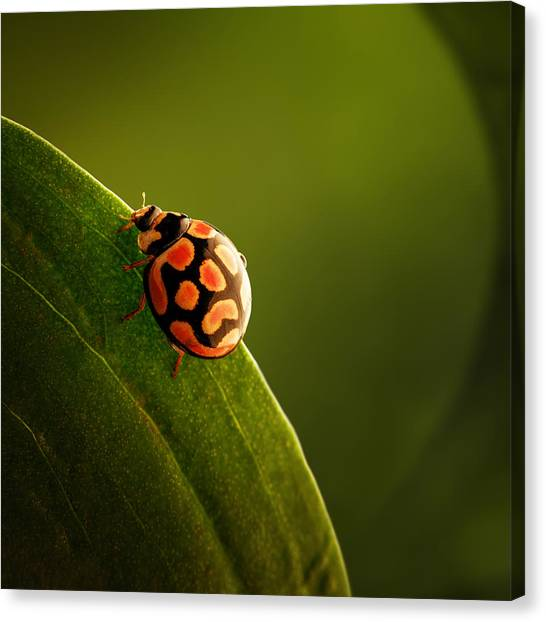 Bug Canvas Print - Ladybug  On Green Leaf by Johan Swanepoel