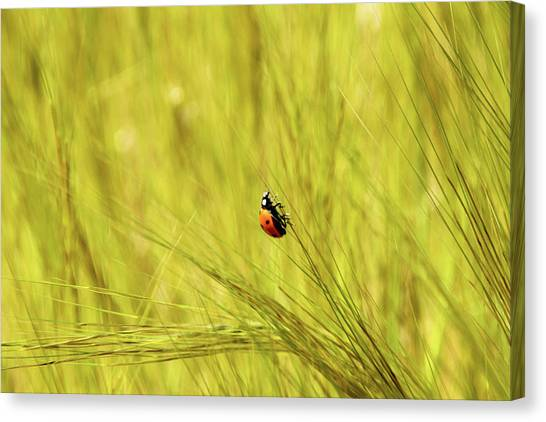 Ladybug In A Wheat Field Canvas Print