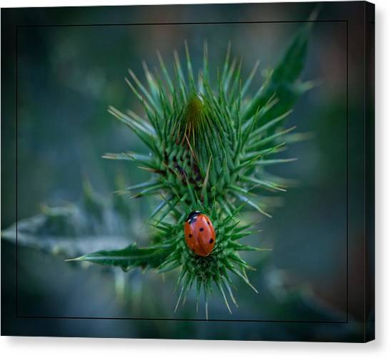 Ladybug On Thistle Canvas Print