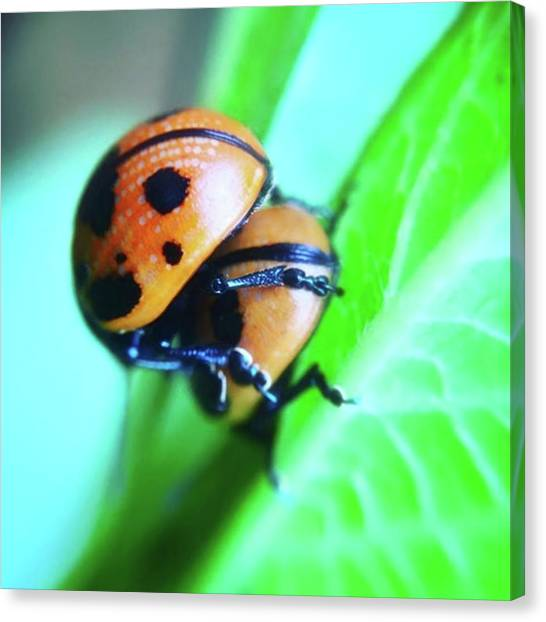 Insects Canvas Print - Ladybugs, Behaving In A Most by Heidi Hermes