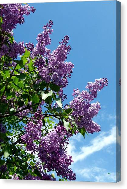 Lilac Bush Canvas Print - Lake Country Lilacs by Will Borden