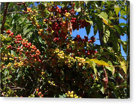 Coffee Plant Canvas Print - Lake Tana Coffee Beans by Aidan Moran