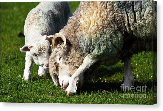 New Baby Canvas Print - Lamb And Mother Sheep Bonding by Simon Bratt Photography LRPS