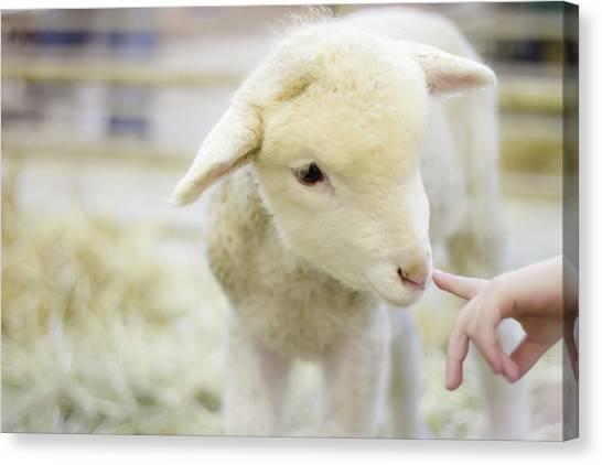 Sheep Canvas Print - Lamb At Denver Stock Show by Anda Stavri Photography