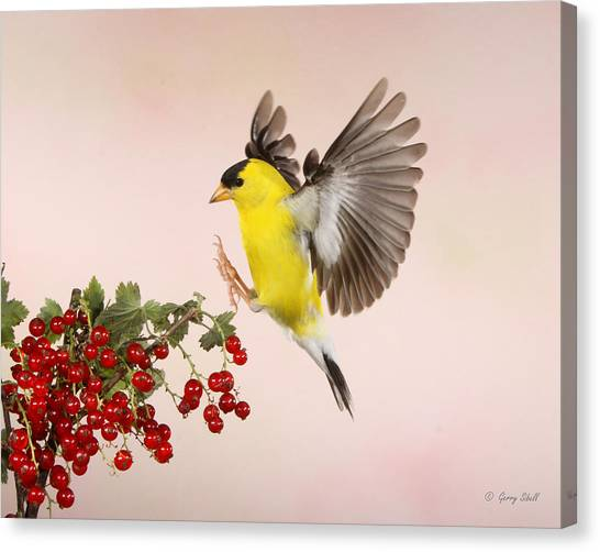 Landing For A Quick Charge At The Currant Bush Canvas Print
