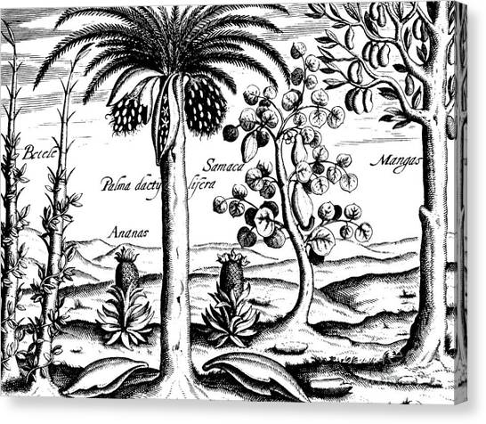 Mango Tree Canvas Print - Landscape, Illustration From India Orientalis, 1598  by Theodore de Bry
