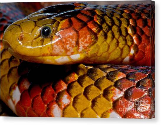 Coral Snakes Canvas Print - Langsdorfs Coralsnake by Dant� Fenolio