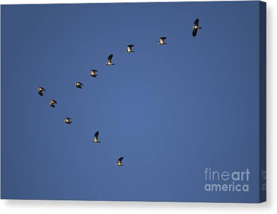 Lapwing Canvas Print - Lapwing Flock by Per-Olov Eriksson