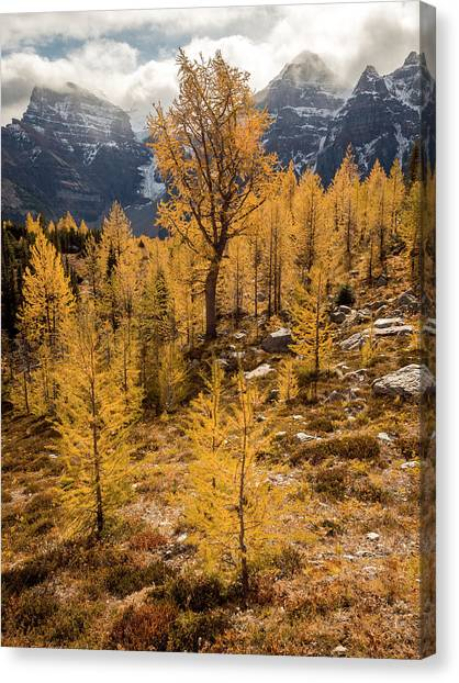 Larch Family Canvas Print
