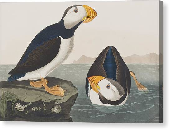 Puffins Canvas Print - Large Billed Puffin by John James Audubon