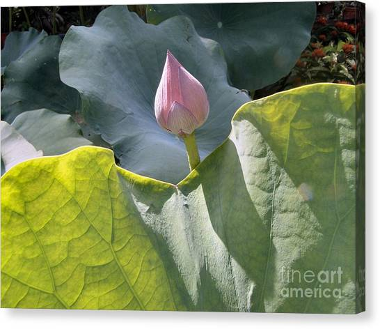 Large Pink Chinese Lotus Bud Canvas Print by Kathy Daxon