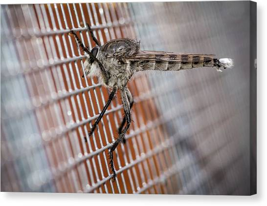 Canvas Print featuring the photograph Large Robber Fly  by John Brink