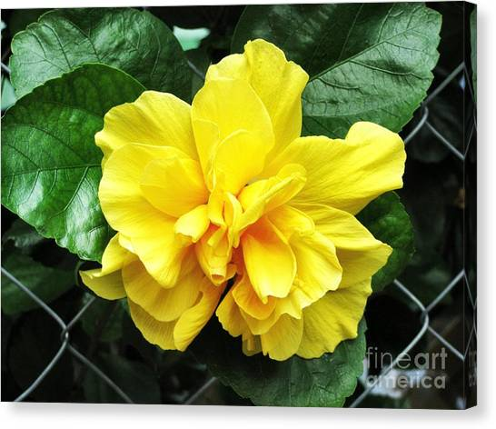 Large Yellow Tropical Flower Double Hibiscus Canvas Print by Kathy Daxon