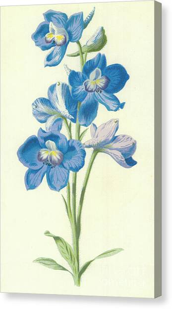 Spurs Canvas Print - Larkspur by Frederick Edward Hulme