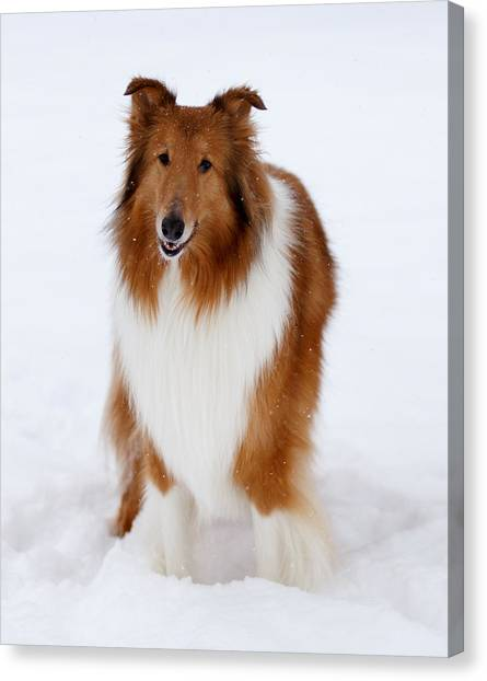 Lassie Enjoying The Snow Canvas Print