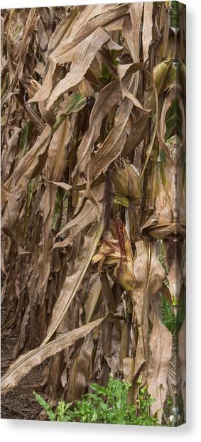 Corn Maze Canvas Print - Last Ear Standing by Arlene Carmel