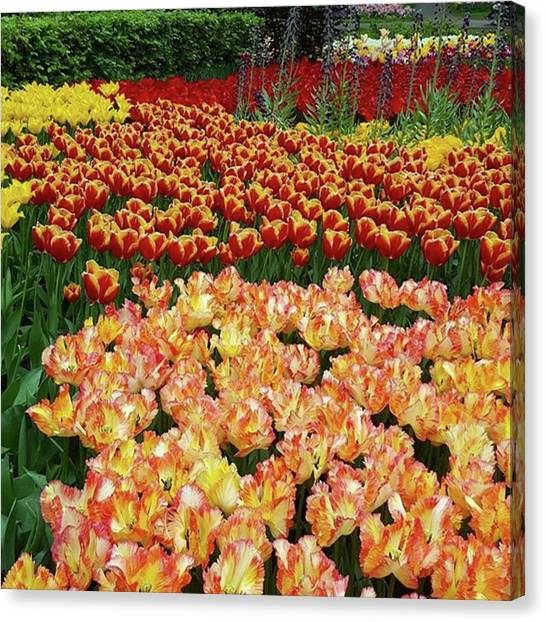 Last One Of My Week Of #tulips. If You Canvas Print by Dante Harker