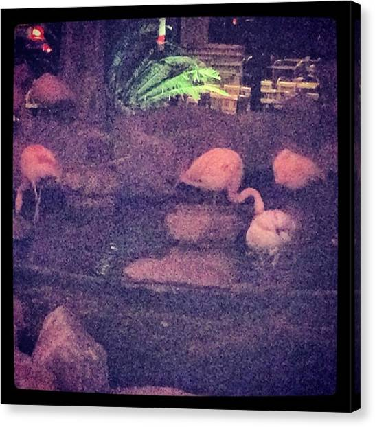 Flamingos Canvas Print - #lasvegas Chillin On The Strip Wit by Racquel Williams