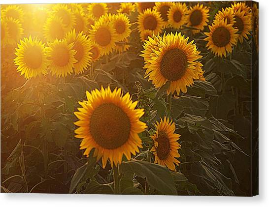 Late Afternoon Golden Glow Canvas Print