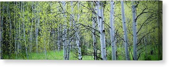Grove Canvas Print - Late Spring In The Aspen Grove by Kristin Davidson