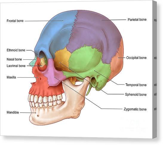 Ethmoid Bone Canvas Prints | Fine Art America