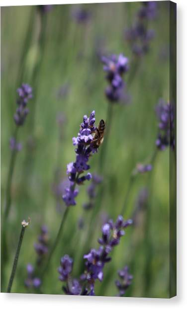 Lavender And Honey Bee Canvas Print