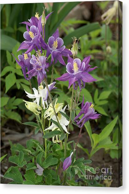 Lavender And White Columbine Canvas Print