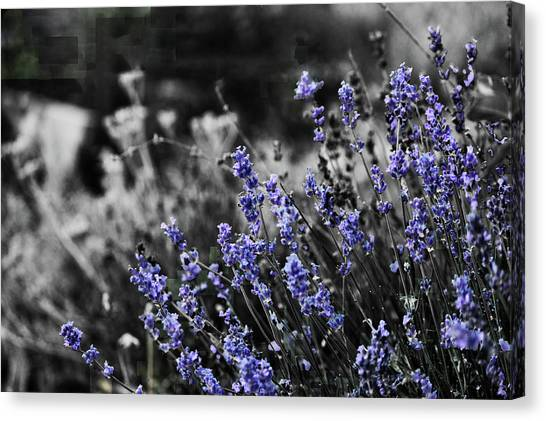Lavender B And W Canvas Print