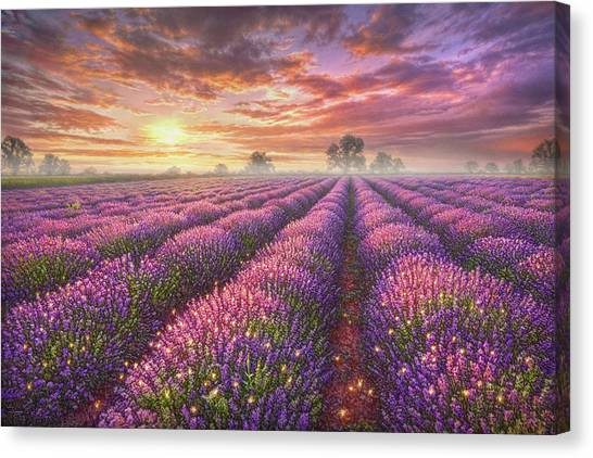 Spring Trees Canvas Print - Lavender Field by Phil Jaeger