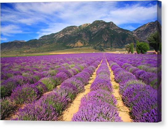 Lavender Fields Forever Canvas Print