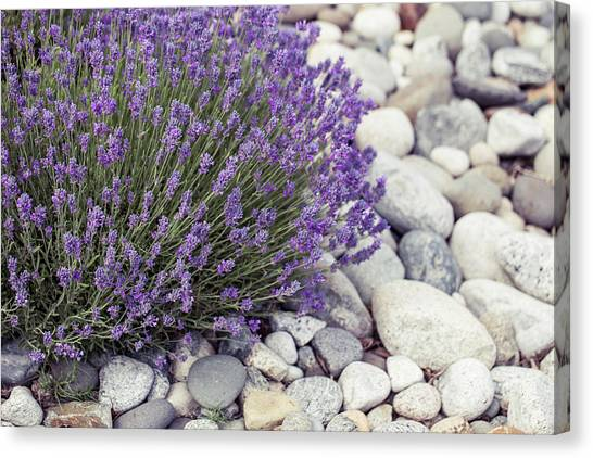Lavender Flower In The Garden,park,backyard,meadow Blossom In Th Canvas Print