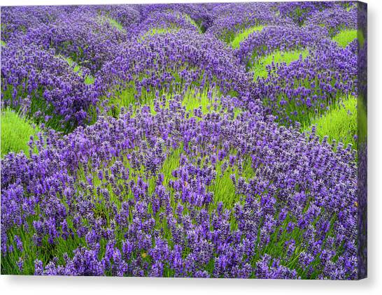 Lavender In Blooming Canvas Print