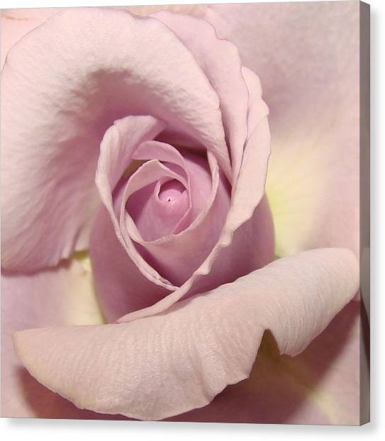 Lavender Mini Rose Canvas Print by Liz Vernand