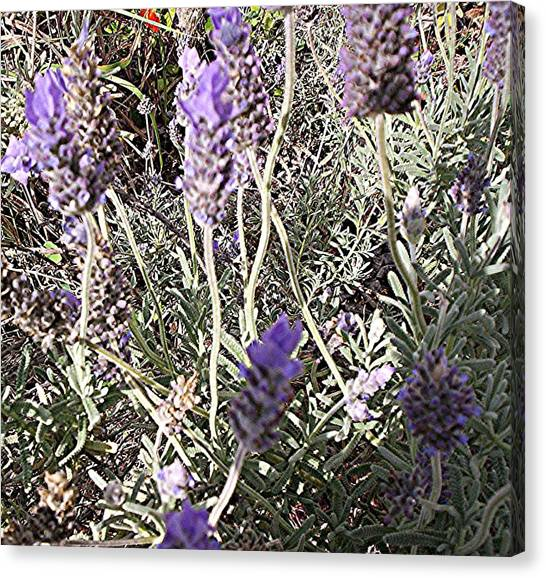 Lavender Moment Canvas Print