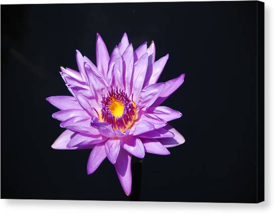 Lavender On Black Canvas Print by William Thomas