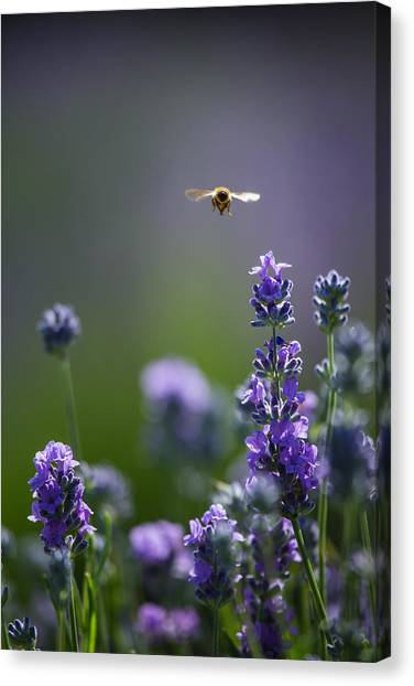 Lavender User Canvas Print