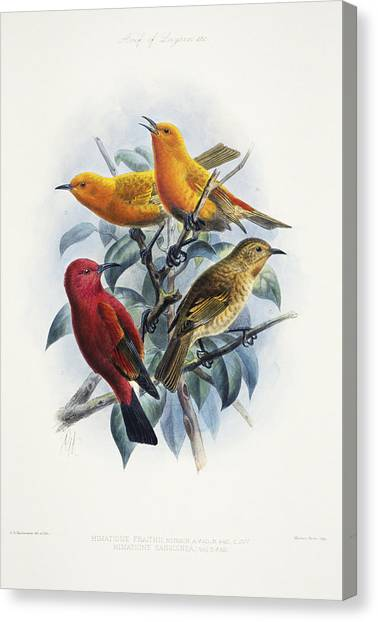 Reggie White Canvas Print - Laysan Honeycreeper by Reggie David - Printscapes
