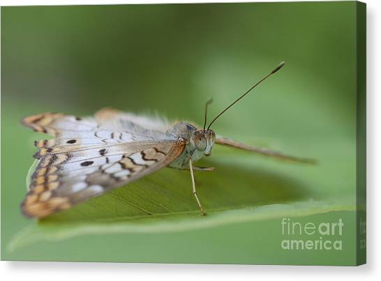 Anartia Jatrophae Canvas Print - Leaf And White Peacock by Ruth Jolly