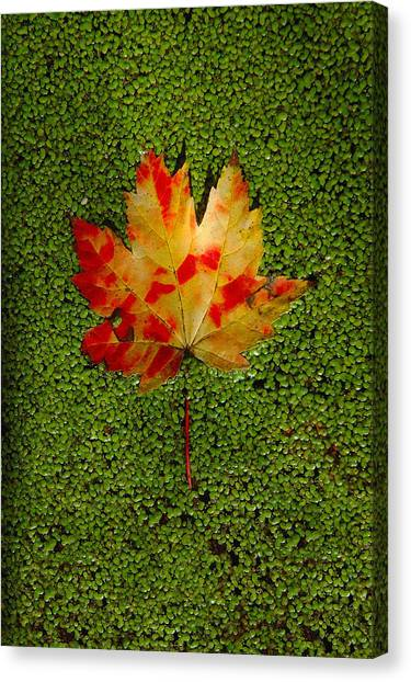 Leaf Floating On Duckweed Canvas Print