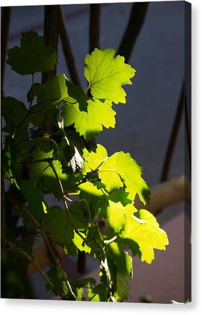 Leaf Light II Canvas Print by James Granberry