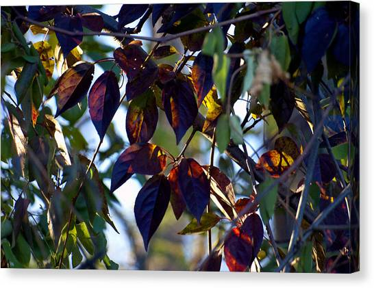 Leafy Light Show Canvas Print by Ross Powell